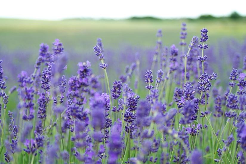 LIONHEART Lavender Lemonade/Tea